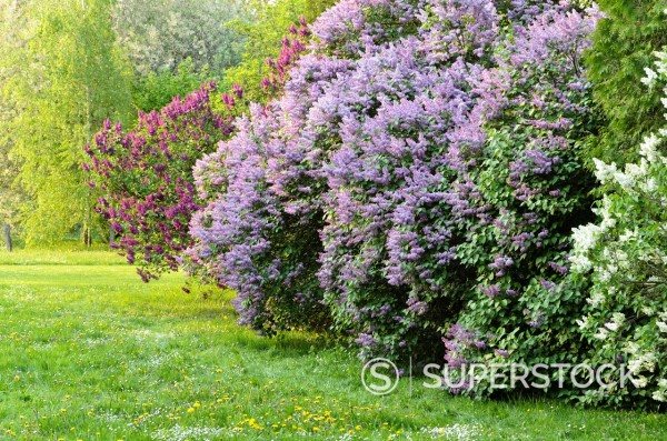 Stock Photo: 1566-1100430 Common lilac Syringa vulgaris