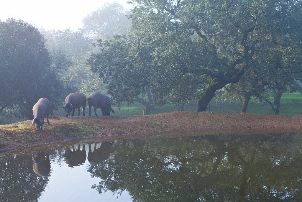 Stock Photo: 1566-1101089 IBERIAN PIG, Sierra de Aracena Natural Park, Huelva, Andalucia, Spain, Europe