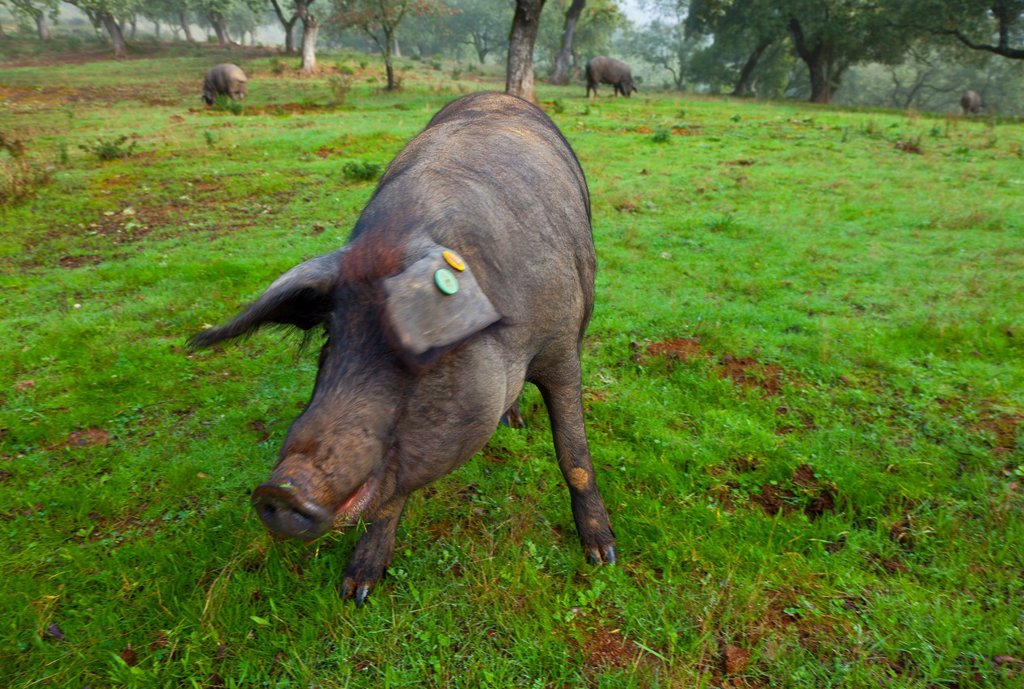 Stock Photo: 1566-1101092 IBERIAN PIG, Sierra de Aracena Natural Park, Huelva, Andalucia, Spain, Europe