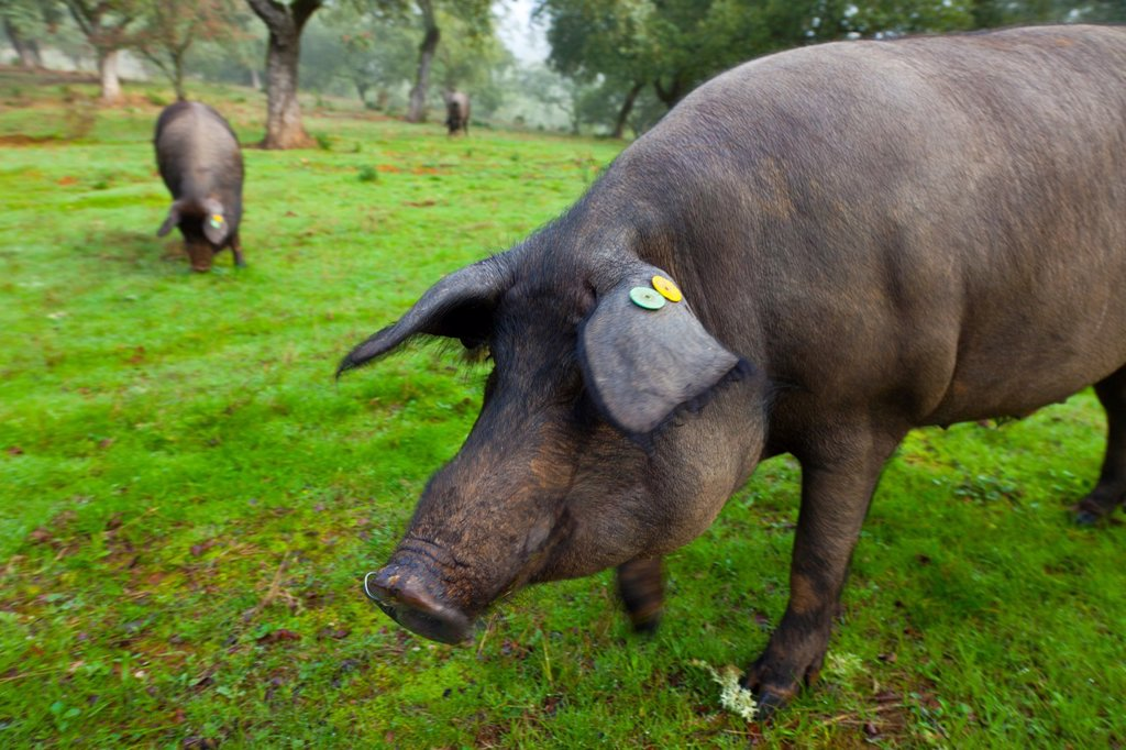 IBERIAN PIG, Sierra de Aracena Natural Park, Huelva, Andalucia, Spain, Europe : Stock Photo