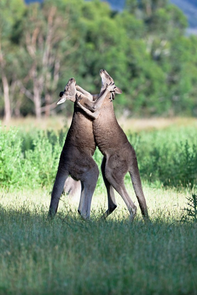 Eastern grey kangaroo Macropus giganteus, it is the second largest living marsupial and one of the icons of Australia Two bulls fighting for dominance which includes, kicking, boxing and wrestling, it is a behaviour which happens mainly when a female is i. Eastern grey kangaroo Macropus giganteus, it is the second largest living marsupial and one of the icons of Australia Two bulls fighting for dominance which includes, kicking, boxing and wrestling, it is a behaviour which happens mainly when a : Stock Photo