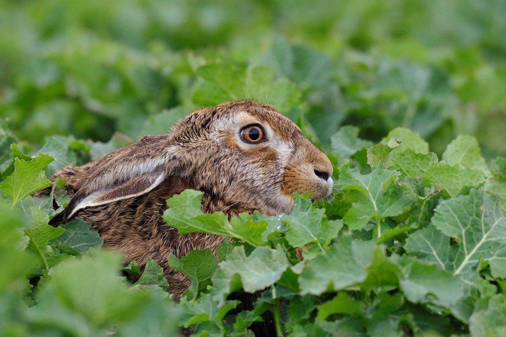 Stock Photo: 1566-1102506 European brown hare, Lepus europaeus, Hesse, Germany, Europe