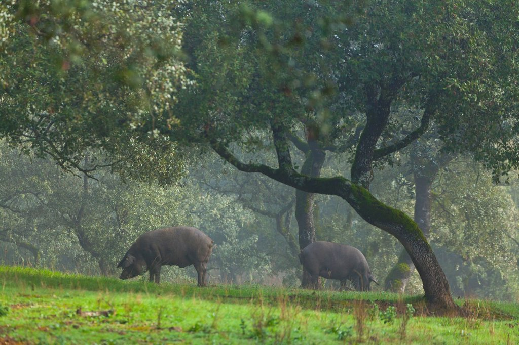 Stock Photo: 1566-1103830 IBERIAN PIG, Sierra de Aracena Natural Park, Huelva, Andalucia, Spain, Europe
