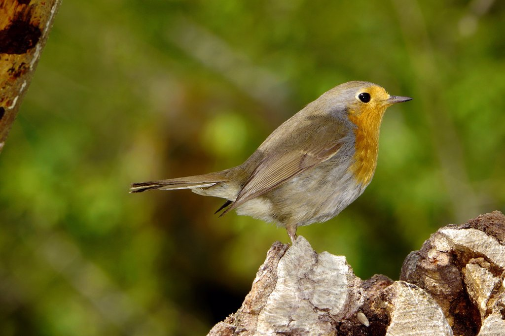 Stock Photo: 1566-1104473 European Robin, Erithacus rubecula, Muscicapidae, Passeriforme, Spain, Europe