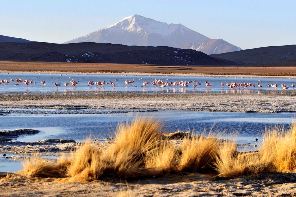 Laguna Hedionda is a saline lake in the Nor Lípez Province, Potosí Department in Bolivia. It is notable for various migratory species of pink and white flamingos. : Stock Photo