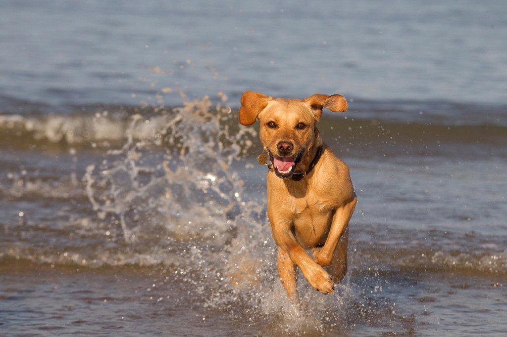 Yellow Labrador in action along the beach : Stock Photo