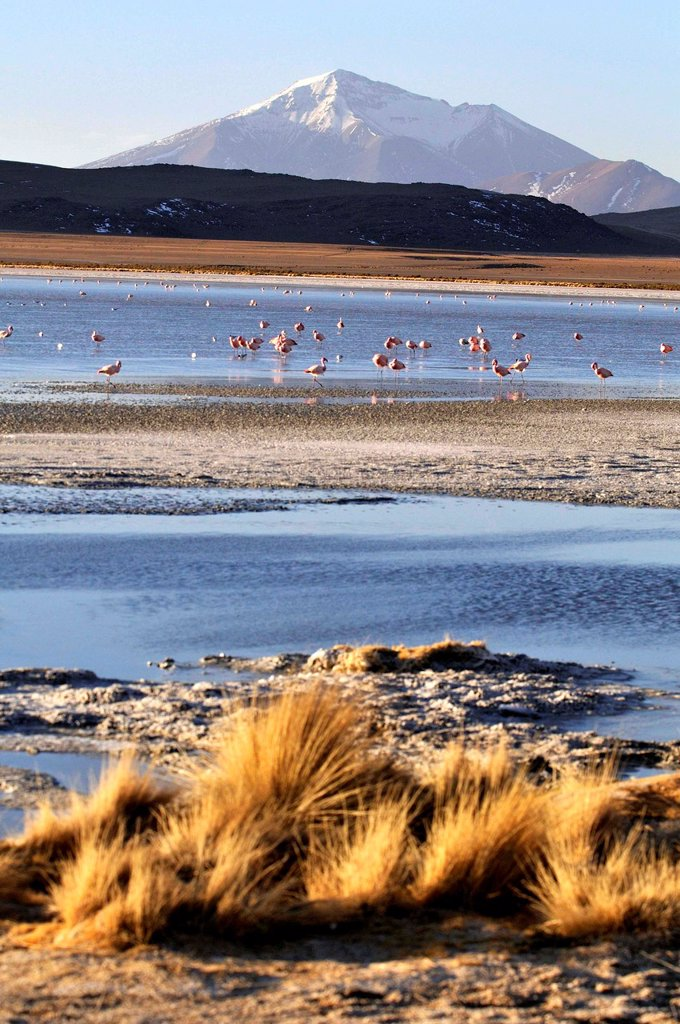Stock Photo: 1566-1105466 Laguna Hedionda is a saline lake in the Nor Lípez Province, Potosí Department in Bolivia. It is notable for various migratory species of pink and white flamingos.