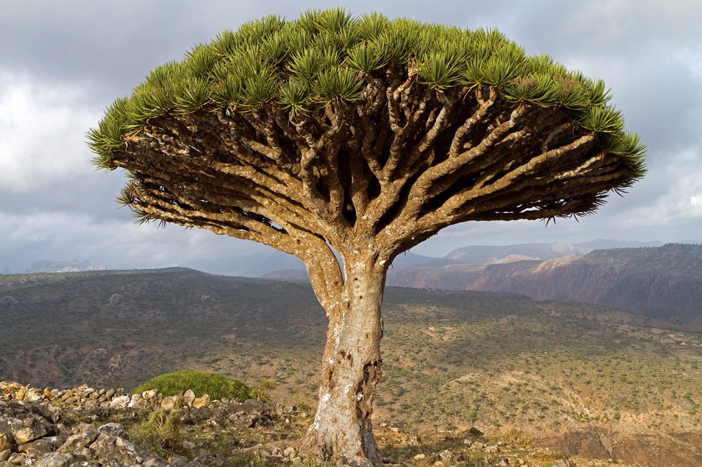 Dragon tree (Dracaena cinnabari), Dixam, Socotra island, listed as World Heritage by UNESCO, Aden Governorate, Yemen : Stock Photo