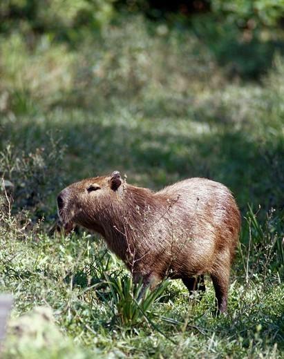 Capybara, Hydrochoerus hydrochaeris, Mburucuyá National Park, Corrientes province, Argentina : Stock Photo
