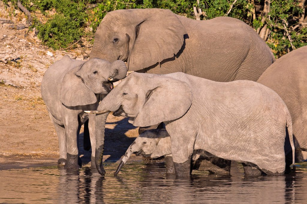 Stock Photo: 1566-1107069 A herd of african elephants (Loxodonta africana) drinking at a waterhole in Botswana, Africa