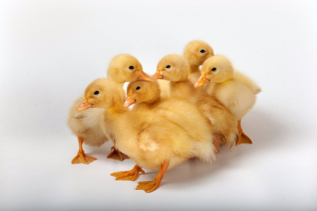 Stock Photo: 1566-1108199 Ducklings on white background