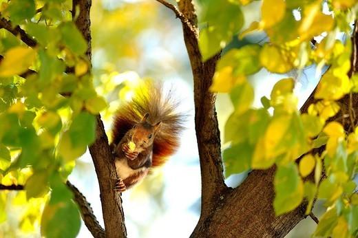 Stock Photo: 1566-1108616 Squirrel in Retiro Park, Madrid