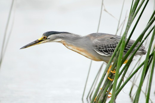 Striated Heron, Butorides striata, lagoon in the Buenos Aires province, Argentina : Stock Photo