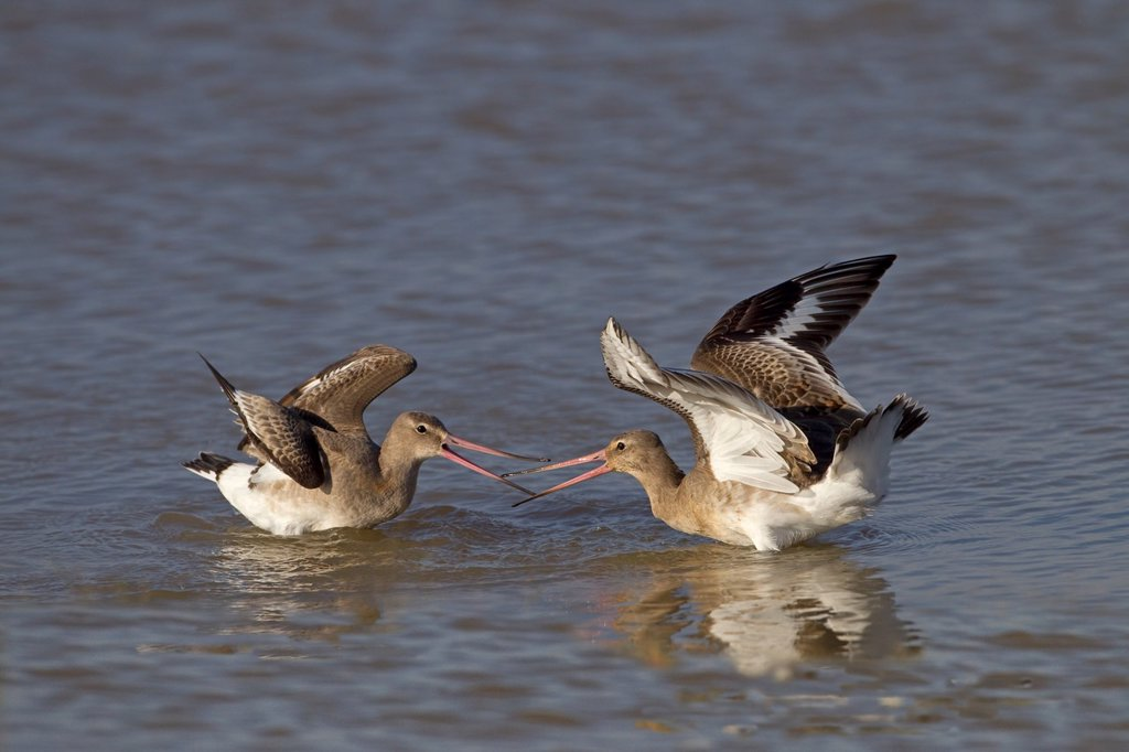 Black-tailed Godwits Limosa limosa fighting Autumn : Stock Photo