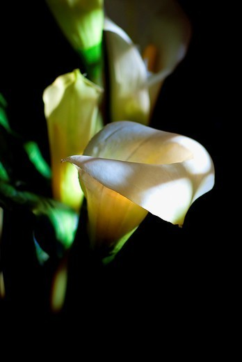 Stock Photo: 1566-1109050 Calla lily