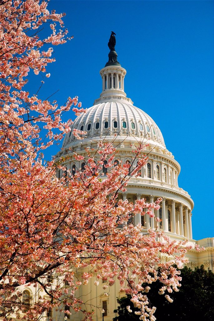 Stock Photo: 1566-1109379 Cherry Blossoms at US Capitol