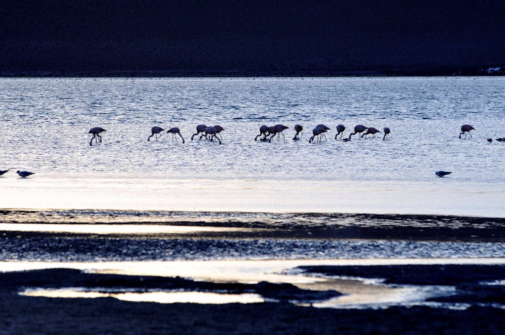 Stock Photo: 1566-1109548 Laguna Hedionda is a saline lake in the Nor Lípez Province, Potosí Department in Bolivia. It is notable for various migratory species of pink and white flamingos.