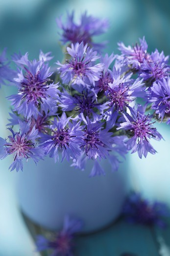 Stock Photo: 1566-1110636 Corn flowers bunch in a vase