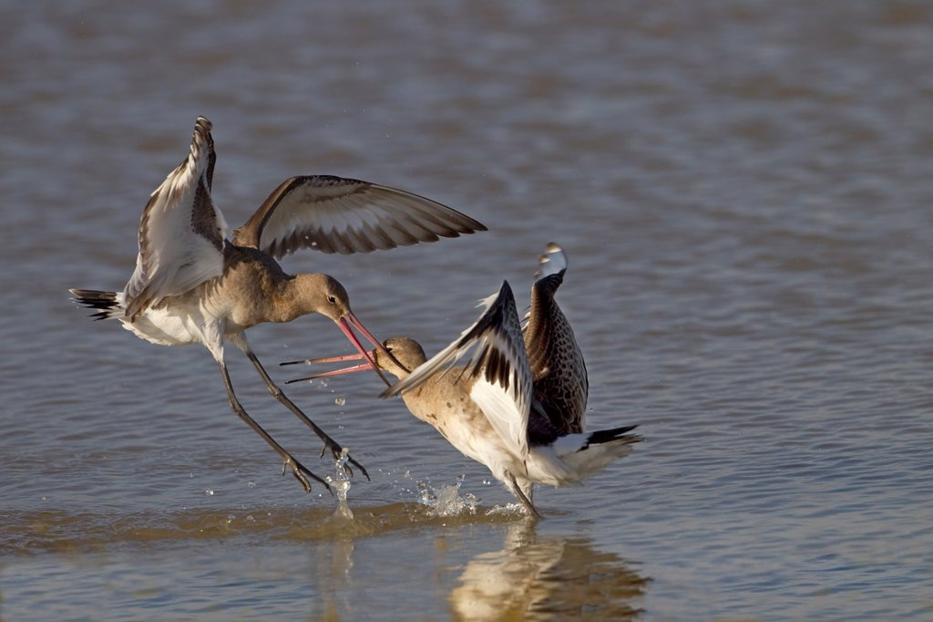 Stock Photo: 1566-1110927 Black-tailed Godwits Limosa limosa fighting Autumn