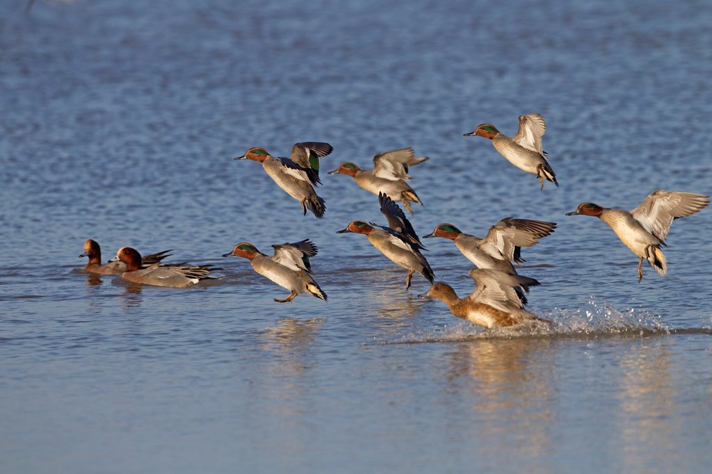 Teal Anas crecca flock feeding on marshes : Stock Photo