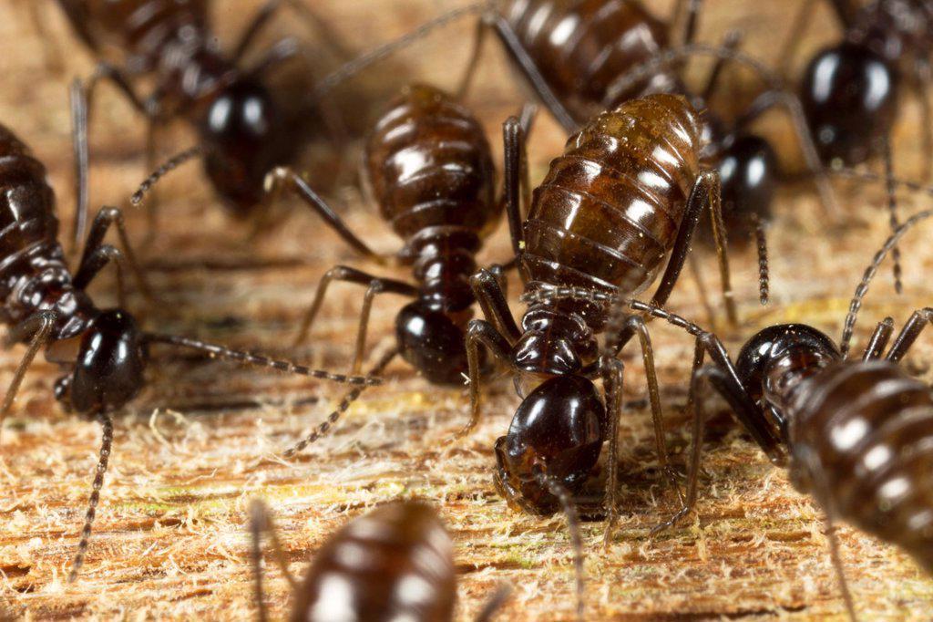 Termites. Image taken at Kampung Satau, Singai, Sarawak, Malaysia. : Stock Photo