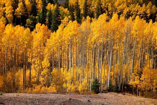 Stock Photo: 1566-1111691 Aspens show their fall colors in the Rocky Mountains of Colorado