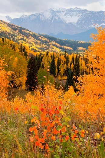 Firey Aspen foliage in the San Juan Mountains of Colorado : Stock Photo