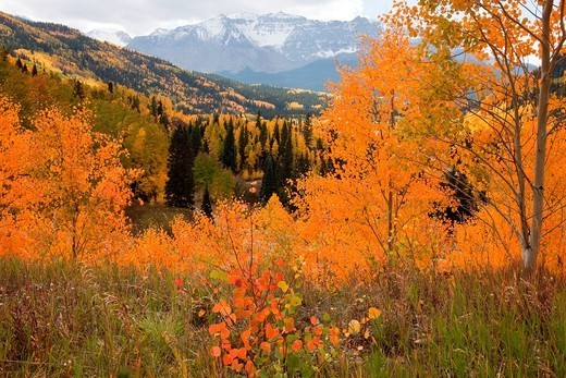 Stock Photo: 1566-1111694 Aspens in autumn in the Rocky Mountains
