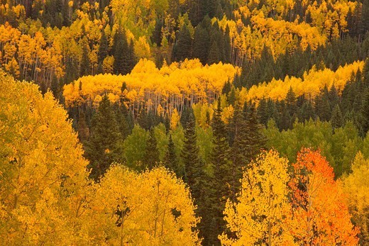 Stock Photo: 1566-1111695 Aspens in Autumn in the Rocky Mountains of Colorado