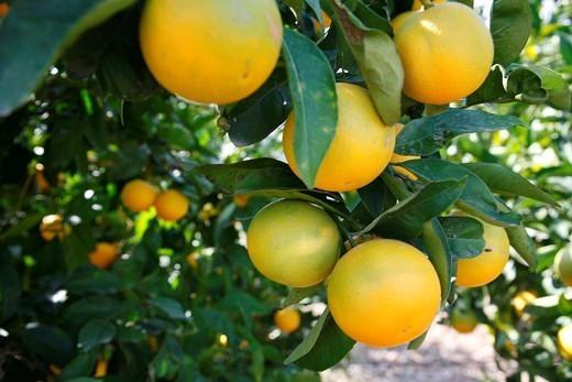 Orange tree, Kos, Greece : Stock Photo