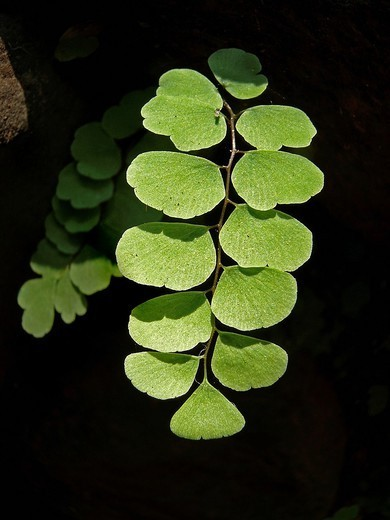 Stock Photo: 1566-1112518 Cheilanthes feei Fern, Shirgaon, Chiplun, Maharashtra, India