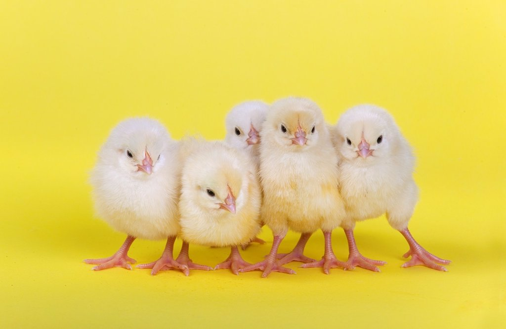 Stock Photo: 1566-1113739 newly hatched Dayold Chicks in a row on yellow background
