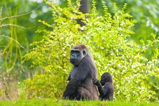 LOWLAND GORILLA Gorilla gorilla gorilla. : Stock Photo