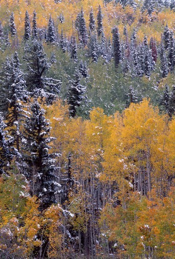Snowfall adds accent to autumn colored aspen and spruce forest, Sneffels Range, Uncompahgre National Forest, southwest Colorado, USA : Stock Photo