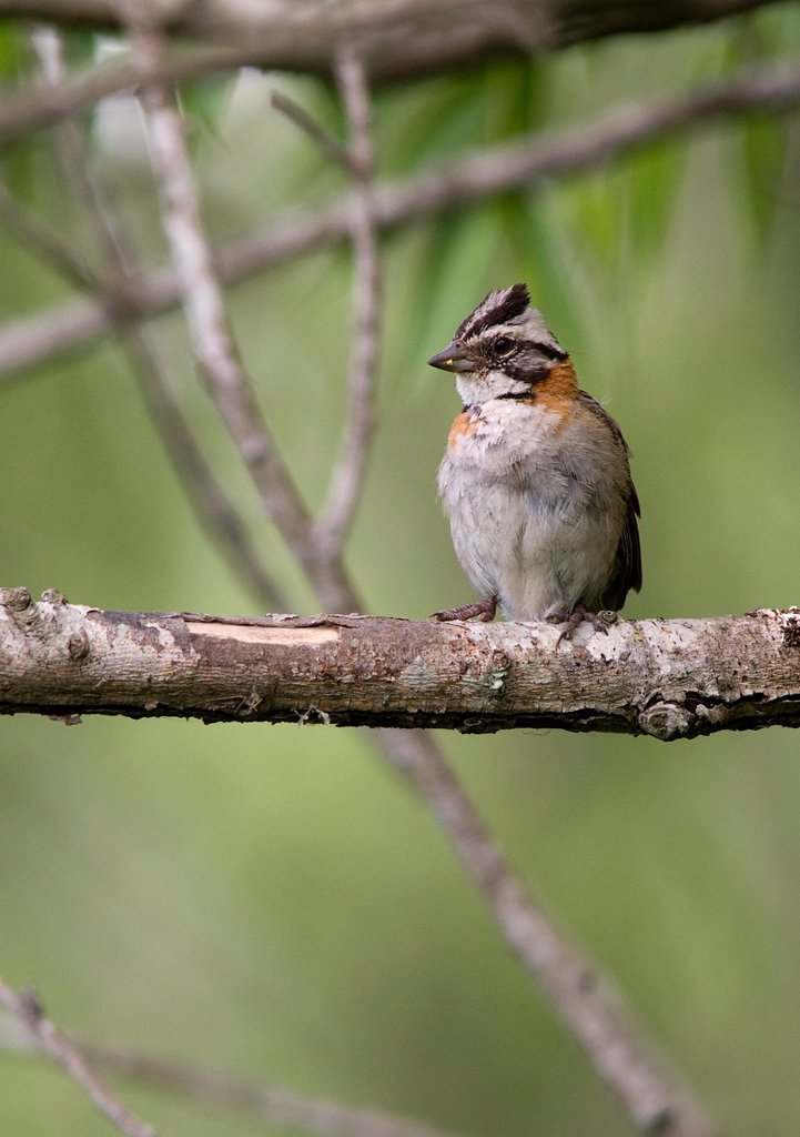 Subadult Rufous-collared Sparrow, Zonotrichia capensis, Paraná Delta, Buenos Aires province, Argentina : Stock Photo