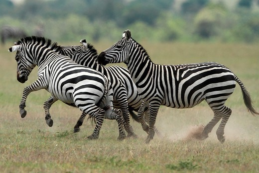 Burchell´s Zebra, savannah, Masai Mara National Reserve, Kenya. : Stock Photo