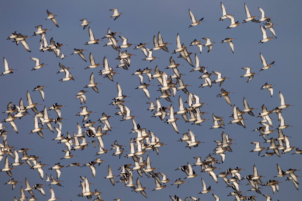 Black-tailed Godwits Limosa limosa in flight over marshes : Stock Photo