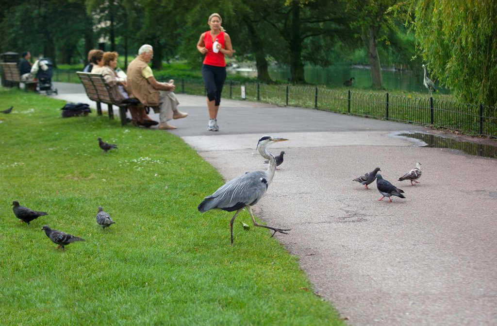 Heron Ardea cinerea in Regents Park London Summer : Stock Photo