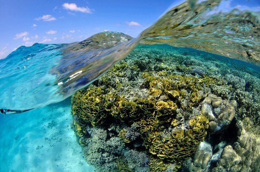 Pristine coral reef , mainly lettuce scroll coral, Turbinaria reniformis, and water surface, Pohnpei, Federated States of Micronesia : Stock Photo