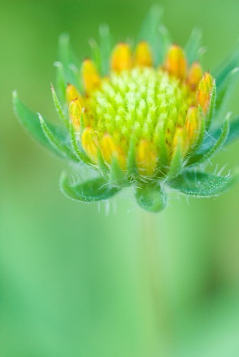 Stock Photo: 1566-1119353 Flower in Fort Collins, Colorado, USA