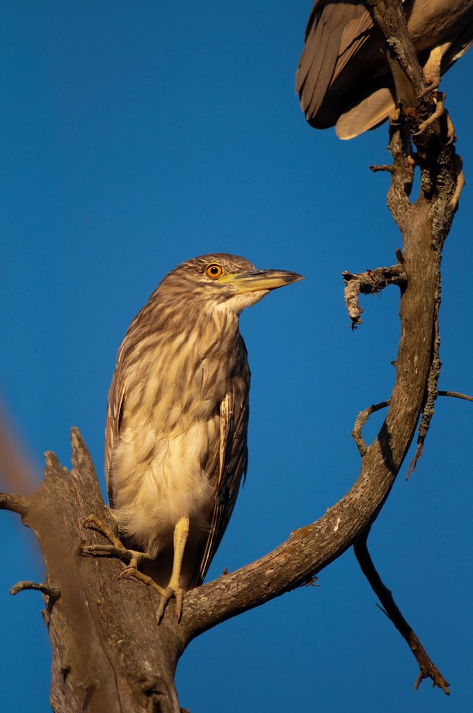 Juvenile Black-crowned Night Herons, Nycticorax nycticorax; Paraná Delta, Buenos Aires province, Argentina : Stock Photo