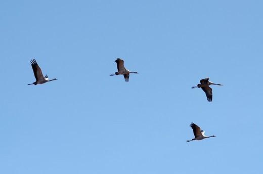 Common cranes at Gallocanta lagoon in autumn  Teruel, Aragon : Stock Photo