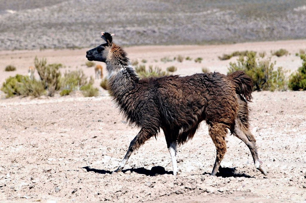 Lama is the modern genus name for two South American camelids, the wild guanaco and the domesticated llama. Before the Spanish conquest of the Americas, llamas and alpacas were the only domesticated ungulates of the continent. Bolivia. Lama is the modern genus name for two South American camelids, the wild guanaco and the domesticated llama. Before the Spanish conquest of the Americas, llamas and alpacas were the only domesticated ungulates of the continent. They were kept not only for their val : Stock Photo