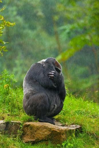 Stock Photo: 1566-1121320 LOWLAND GORILLA Gorilla gorilla gorilla.