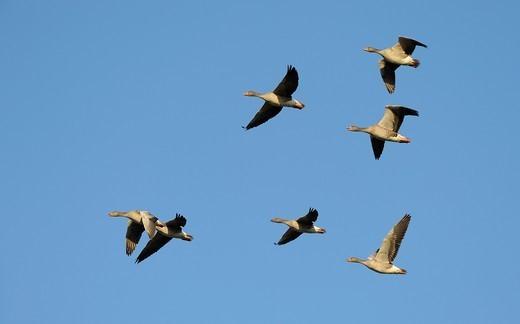 Greylag geese, Anser anser, Mecklenburg-Western Pomerania, Germany, Europe : Stock Photo
