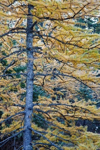 Tamarack Larch - Larix laricina forest during the autumn months along the Kancamagus Highway in the White Mountains, New Hampshire USA : Stock Photo