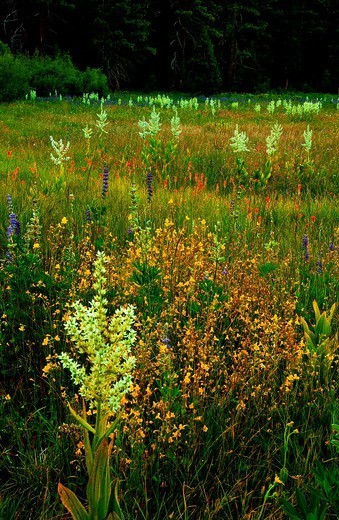 Stock Photo: 1566-1122786 In summer wildflowers bloom in the Lake Tahoe Basin of Northern California
