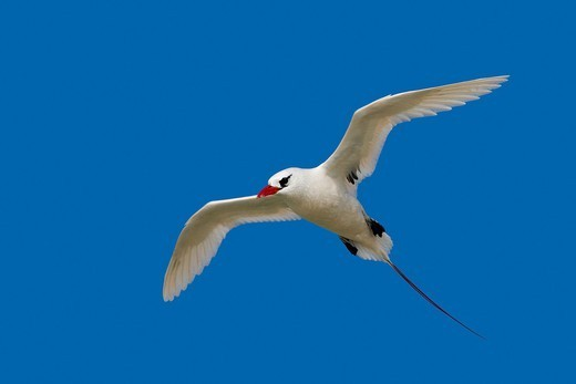 Red-billed Tropicbird (Phaethon aethereus), Sand Island, Midway Atoll National Wildlife Refuge, Hawaii, USA : Stock Photo