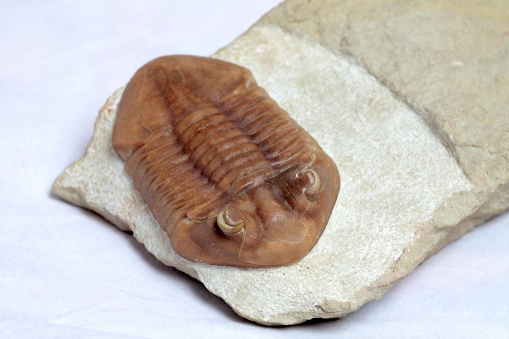 Stock Photo: 1566-1123537 Trilobite fossil, Asaphus sp , 450 milion years