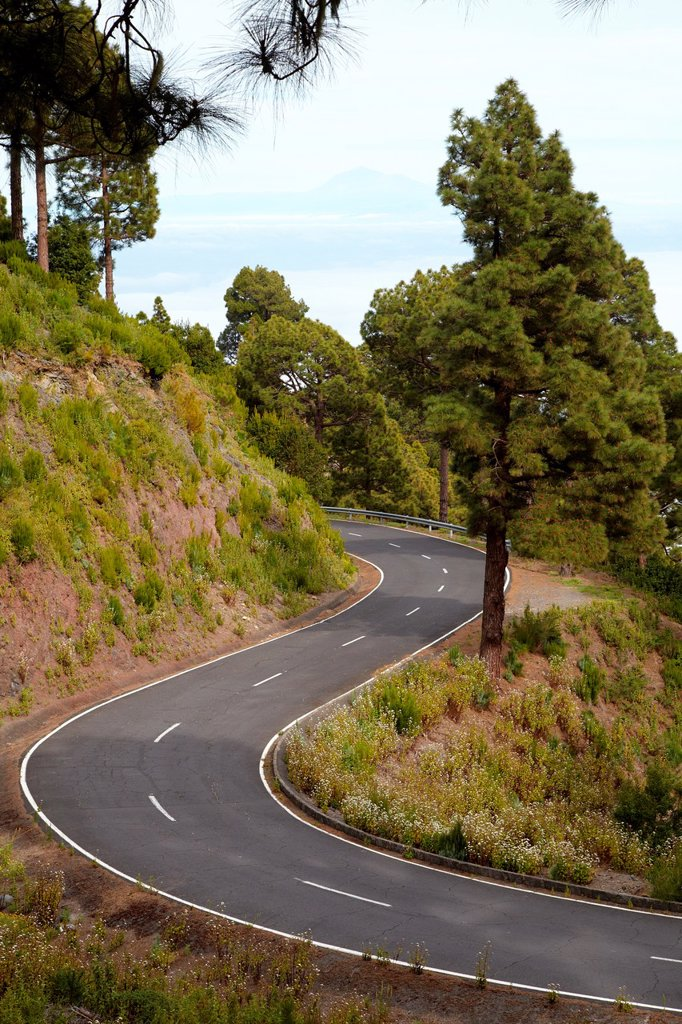Pinus canariensis, Curves road rise to Caldera de Taburiente National Park, La Palma, Canary Islands, Spain : Stock Photo